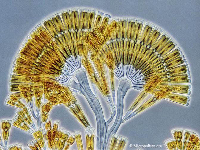 Licmophora flabellata